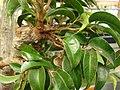 Starr-070906-8524-Ficus benjamina-leaves-Kula Ace Hardware and Nursery-Maui (24523923659).jpg