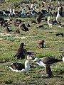 Starr-080531-4719-Amaranthus viridis-habit with Laysan albatross-Parade field Sand Island-Midway Atoll (24884329016).jpg