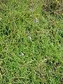Starr-090417-6066-Linaria canadensis var texana-habit-Makawao-Maui (24924595856).jpg
