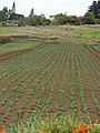 Starr-090430-6760-Brassica oleracea var capitata-crop-Kula-Maui (24953276805).jpg