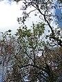 Starr-090601-8708-Tamarindus indica-canopy-Ulupalakua-Maui (24961776875).jpg
