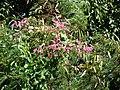 Starr-090604-8921-Antigonon leptopus-flowering habit-Puunene-Maui (24869036061).jpg