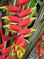 Starr-090617-1017-Heliconia rostrata-flowers-Haiku-Maui (24847389872).jpg