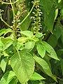 Starr-090623-1610-Ocimum gratissimum-flowers and leaves-Kaeleku-Maui (24966971025).jpg