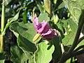 Starr-090801-3513-Solanum melongena-flower-Olinda-Maui (24603277349).jpg