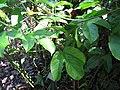 Starr-110330-4091-Passiflora edulis-leaves-Garden of Eden Keanae-Maui (24963062452).jpg