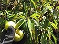 Starr-110920-9213-Prunus domestica-green fruit variety-Shibuya Farm Kula-Maui (24818244790).jpg