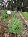 Starr-120415-4646-Cicer arietinum-habit with Forest in veggie garden-Hawea Pl Olinda-Maui (24843766440).jpg
