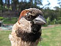 Starr-130601-4561-Cenchrus clandestinus-habitat with House Sparrow in hand-Hawea Pl Olinda-Maui (24580577404).jpg