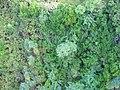 Starr-141014-5109-Caesalpinia decapetala-aerial view-Kakipi Gulch Haiku-Maui (24951859250).jpg