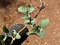 Starr-151213-0956-Alternanthera caracasana-leaves-Hakioawa-Kahoolawe (26284793935).jpg