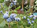Starr-170909-0050-Malus pumila-young fruit-Hawea Pl Olinda-Maui - Flickr - Starr Environmental.jpg