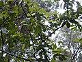 Starr 020803-0074 Pisonia umbellifera.jpg