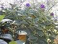 Starr 020815-0012 Tibouchina multiflora.jpg