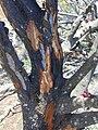 Starr 030419-0106 Santalum haleakalae.jpg