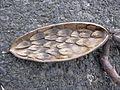 Starr 030612-0082 Plumeria rubra.jpg