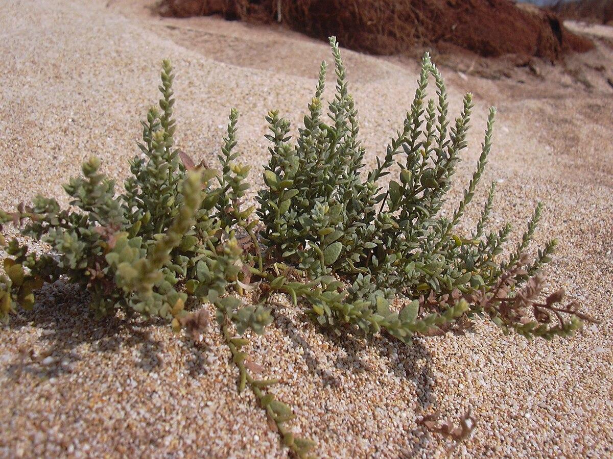 Cressa Plant Wikipedia