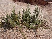 Starr 030923-0116 Cressa truxillensis