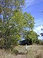 Starr 031013-0004 Acacia auriculiformis.jpg