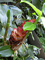 Starr 040209-0105 Costus woodsonii.jpg