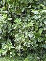 Starr 040209-0207 Polyscias scutellaria.jpg