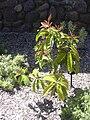 Starr 040318-0070 Syzygium malaccense.jpg