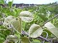 Starr 040410-0112 Canavalia pubescens.jpg