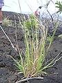 Starr 040410-0126 Heteropogon contortus.jpg