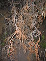 Starr 050831-4224 Leptecophylla tameiameiae.jpg