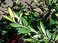 Starr 070111-3139 Olea europaea subsp. cuspidata.jpg