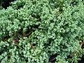 Starr 070906-8999 Unknown cupressaceae.jpg