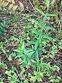 Starr 071024-0371 Olea europaea subsp. cuspidata.jpg