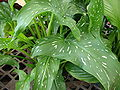 Starr 080117-1537 Zantedeschia albomaculata.jpg