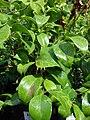 Starr 080117-1973 Jasminum simplicifolium.jpg