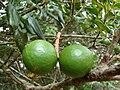 Starr 080715-9230 Macadamia integrifolia.jpg