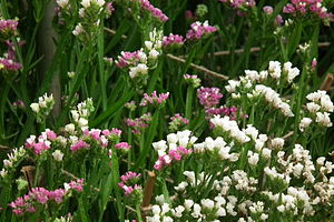 Statice - Limonium from Lalbagh Garden, Bangal...