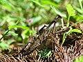 Statilia maculata DSCN0231.JPG