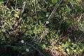 Stellaria -Caryophyllaceae-Tourbière de Gimel-20141018.jpg