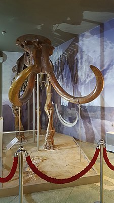 Steppe mammoth skeleton, Azov Museum (3).jpg