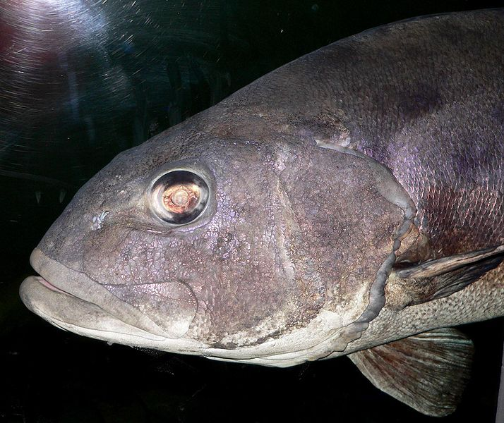 http://upload.wikimedia.org/wikipedia/commons/thumb/7/75/Stereolepis_gigas_head.jpg/714px-Stereolepis_gigas_head.jpg