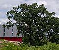 Stieleiche - Fürstenbrunner Weg 30.jpg