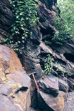 Stigmaria Bear Valley upright