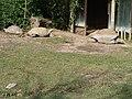 Stigmochelys pardalis.002 - Zoo Aquarium de Madrid.jpg