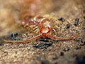 Stone Centipede (46833148894).jpg