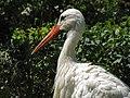 Stork لک لک 01.jpg