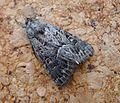 Straw Underwing. Thalpophila matura - Flickr - gailhampshire.jpg