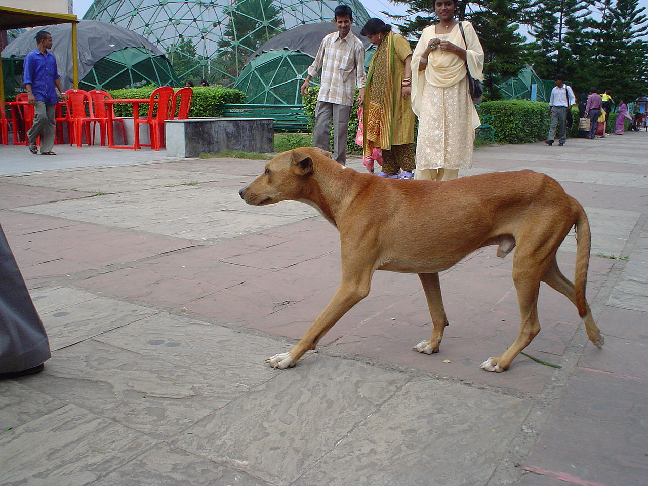 Local Dog Breeds Of India
