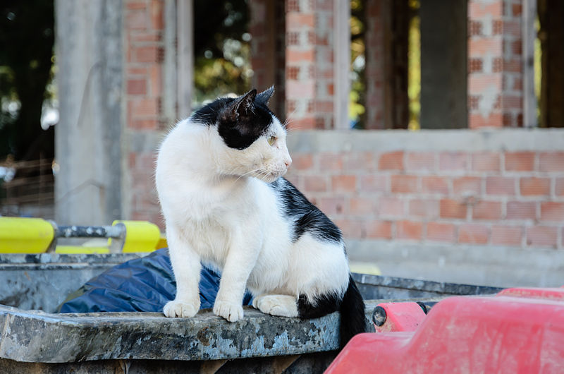 File:Stray cat - Perissa - Santorini - Greece.jpg