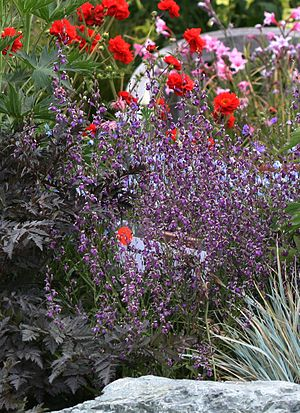 Streptanthus albidus - ssp. peramoenus in a nursery