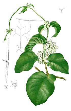 Streptocaulon baumii Blanco1.138b-cropped.jpg